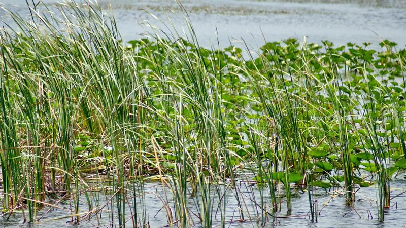 Vegetation in den Sumpfgebieten stockbilder