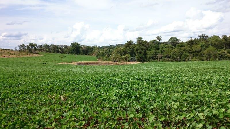 Vegetation des Sojas stockfoto
