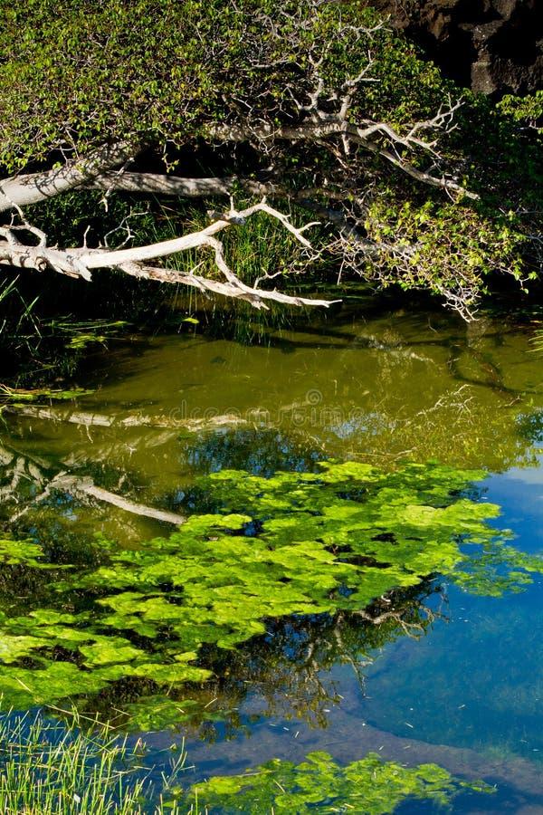 Vegetation in einer Lagune, Galapgos-Inseln stockfoto