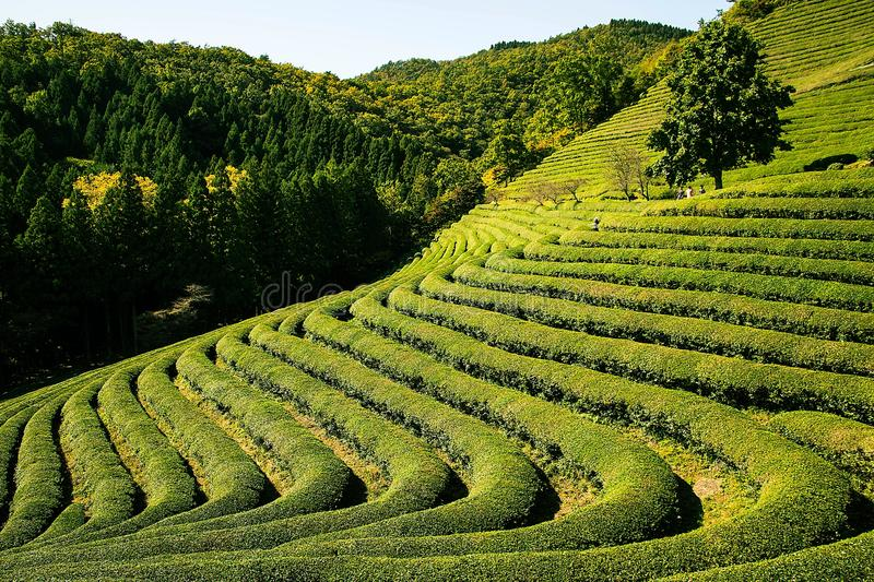 Vegetation, Field, Agriculture, Hill Station royalty free stock image