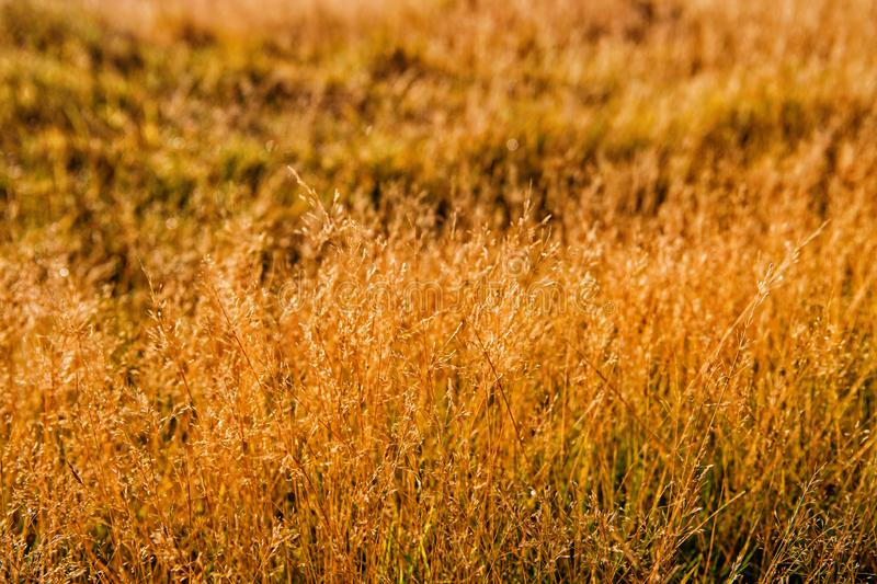 Vegetation of Iceland concept. Dry spikelets sunny autumn day close up. Vegetation diversity. Plants resistance climate. Conditions. Spikelets grow in field stock photos