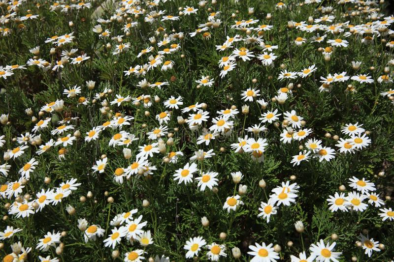 Vegetation on La Gomera – Oxeye Daisy Flowerbed. Canary Islands. Spain. Europe royalty free stock images