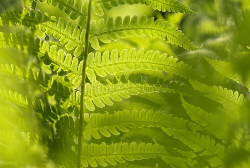 Vegetation, Plant, Ostrich Fern, Fern royalty free stock images