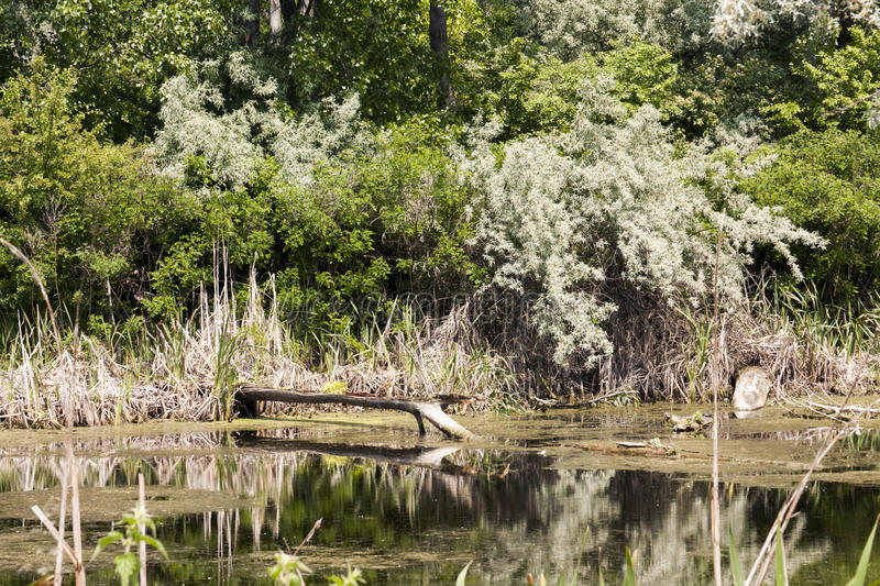 Vegetation, reeds and tree trunks reflected stock photos