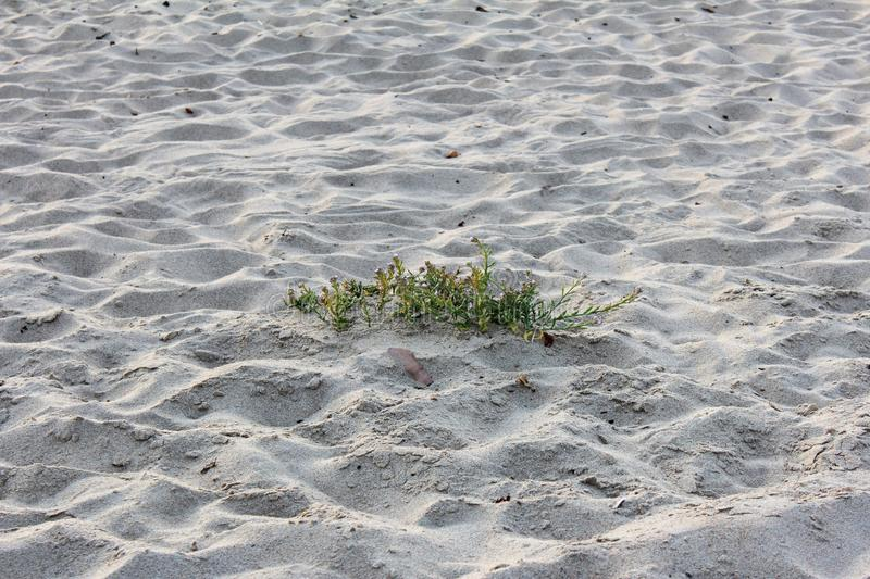 Vegetation in Sand City beach in Monterey County, California, United States. Sand City is a city in Monterey County, California, United States, located on the royalty free stock images