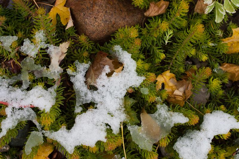Vegetation som ändå petar tidig snö royaltyfria foton