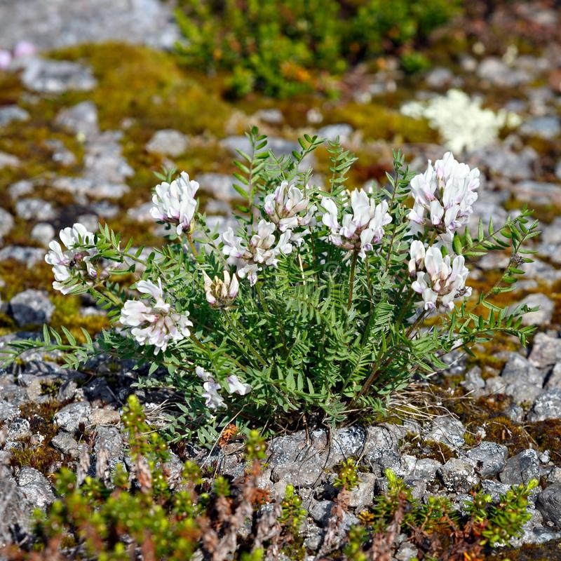 Vegetation of the tundra. The vegetation of the tundra stock photography