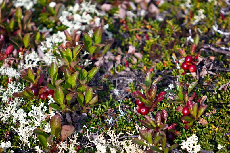 The vegetation of the tundra. The vegetation of the tundra stock photography