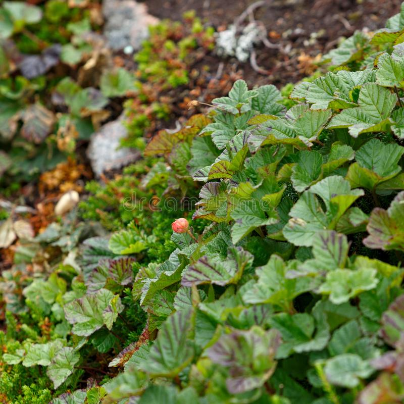 The vegetation of the tundra. The vegetation of the tundra royalty free stock image