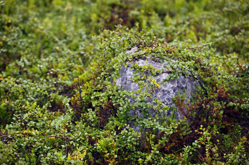 The vegetation of the tundra. The vegetation of the tundra stock images