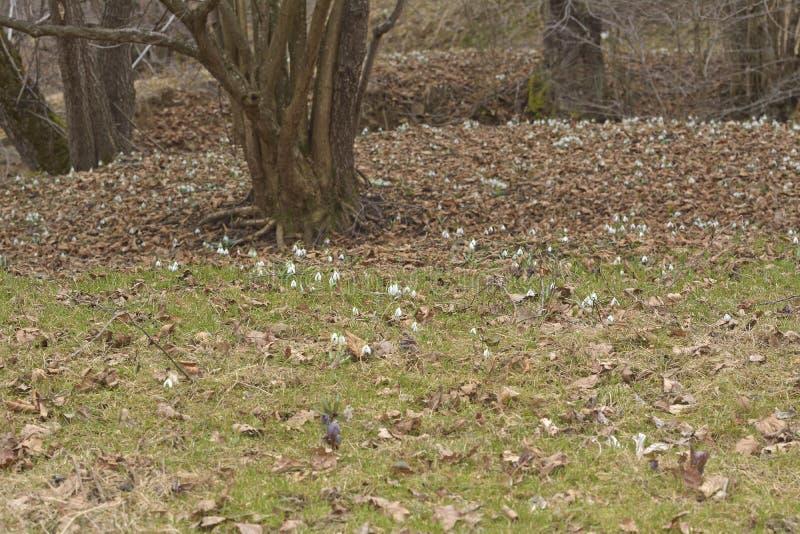 Vegetationmattan av snödroppar i floodplainskogGalanthus nivalis royaltyfria foton