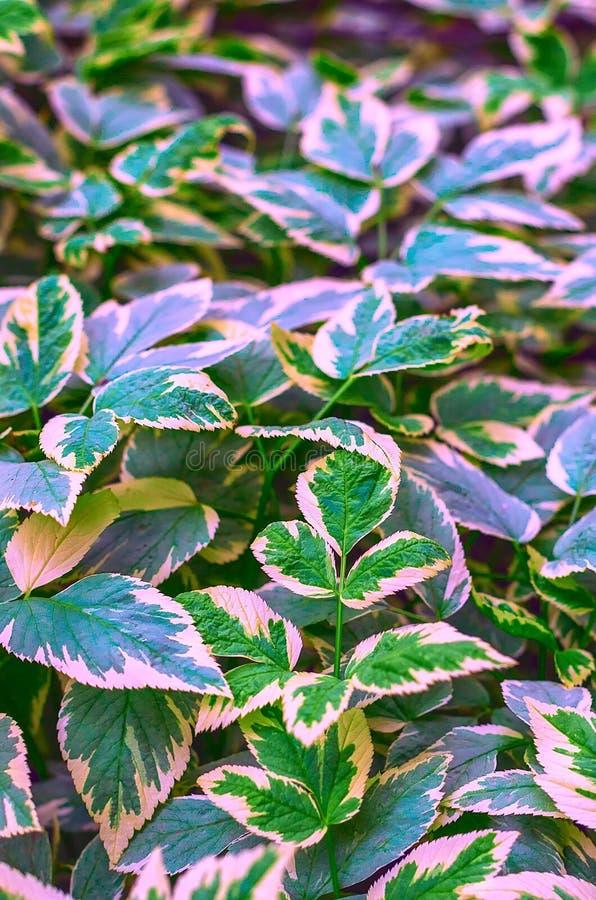 Vegetativ bakgrund från en låg växande jordräkningsväxt med mång--färgade sidor Aegopodium podagraria royaltyfri fotografi
