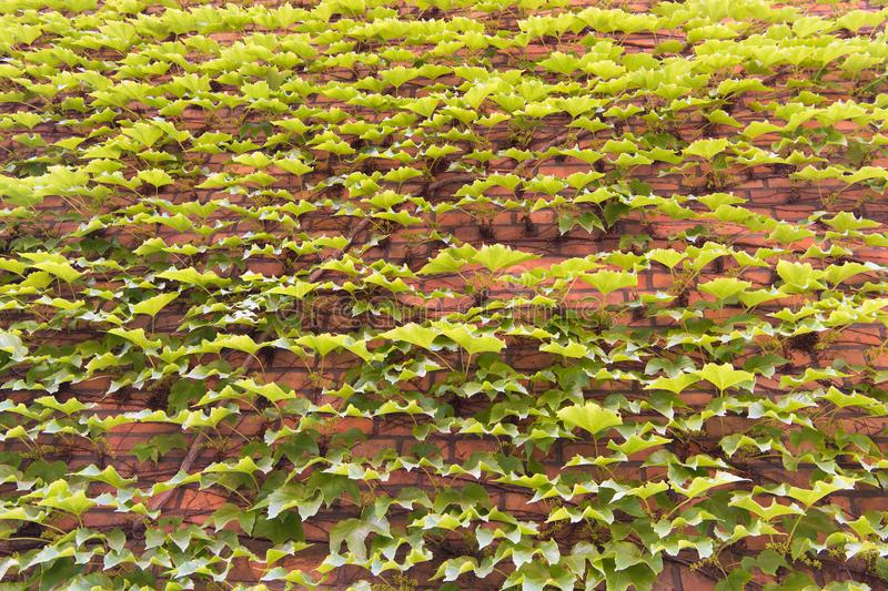 Vegetative cover can insulate and cool the building. Ivy plant on wall. Green ivy wall. Growing ivy or other climbers up. Building wall can have many benefits stock image