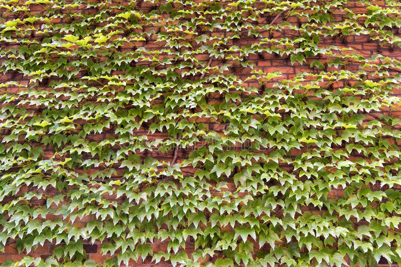 Vegetative cover can insulate and cool the building. Ivy plant on wall. Green leaves surface. Green ivy wall. Growing. Ivy or other climbers up building wall royalty free stock photo