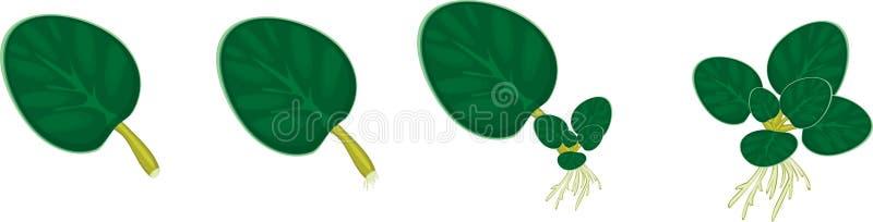 Vegetative reproduction african violets (saintpaulia) home plant vector illustration