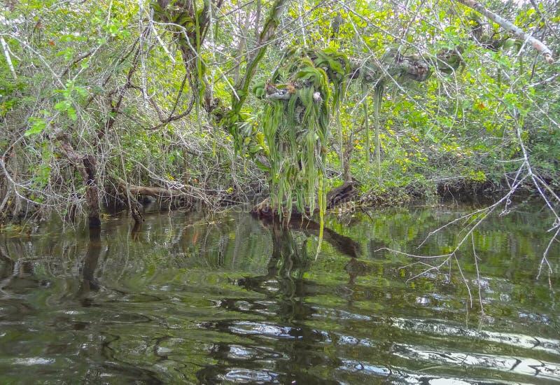 Vegetazione al nuovo fiume a Belize fotografia stock
