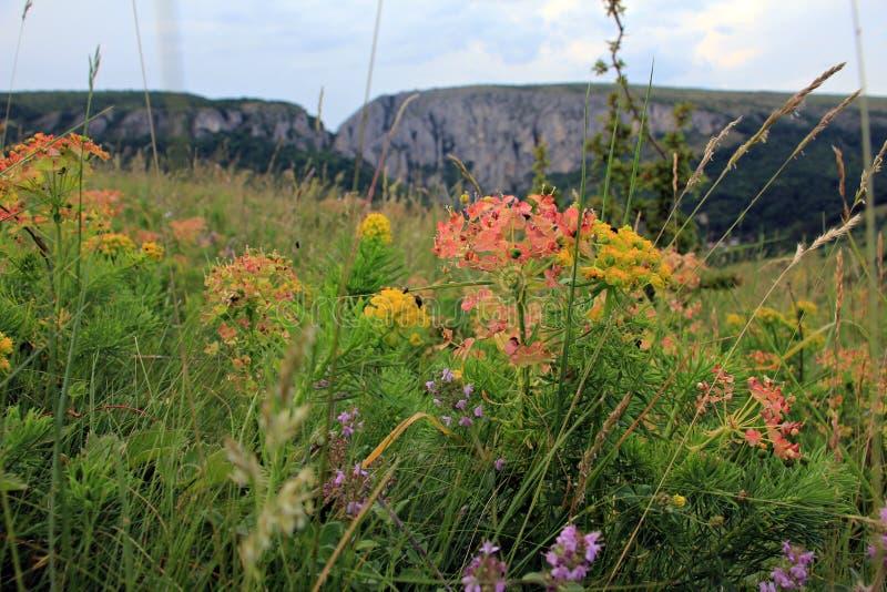 Vegetazione alpina - bei fiori sui prati fotografia stock