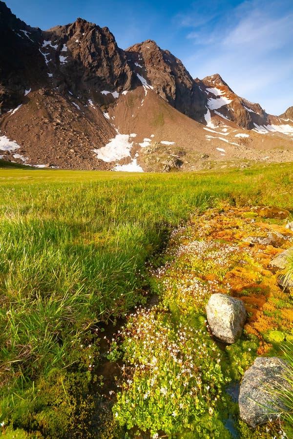Vegetazione alpina delle montagne nelle alpi di Stubai Tirolo vicino alla nuova capanna della montagna di Regensburger, Austria fotografie stock