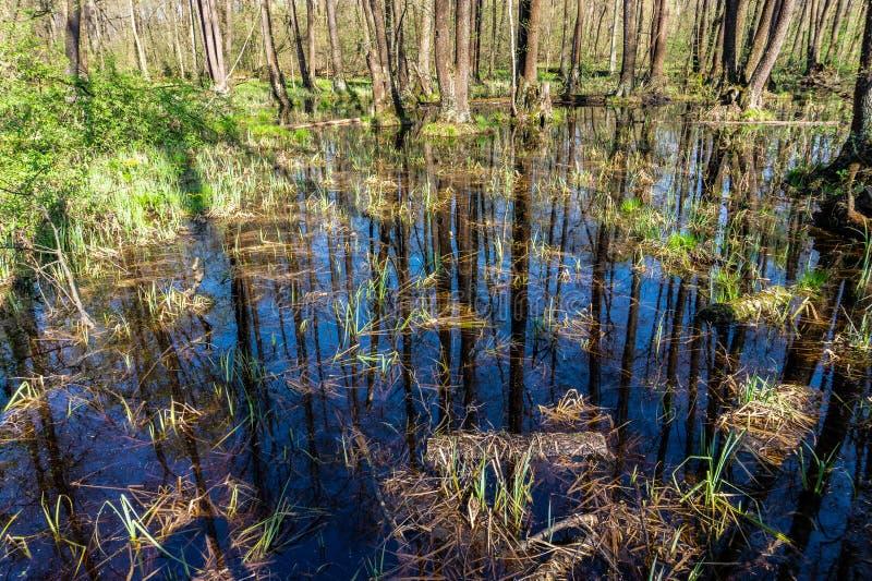 Vegetazione della palude della foresta della palude immagine stock libera da diritti