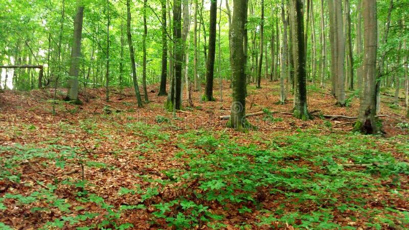 Vegetazione fertile, alberi nella foresta, Transcarpathia fotografia stock