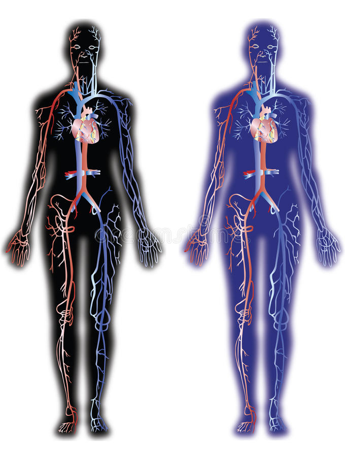 Veias e artérias ilustração stock