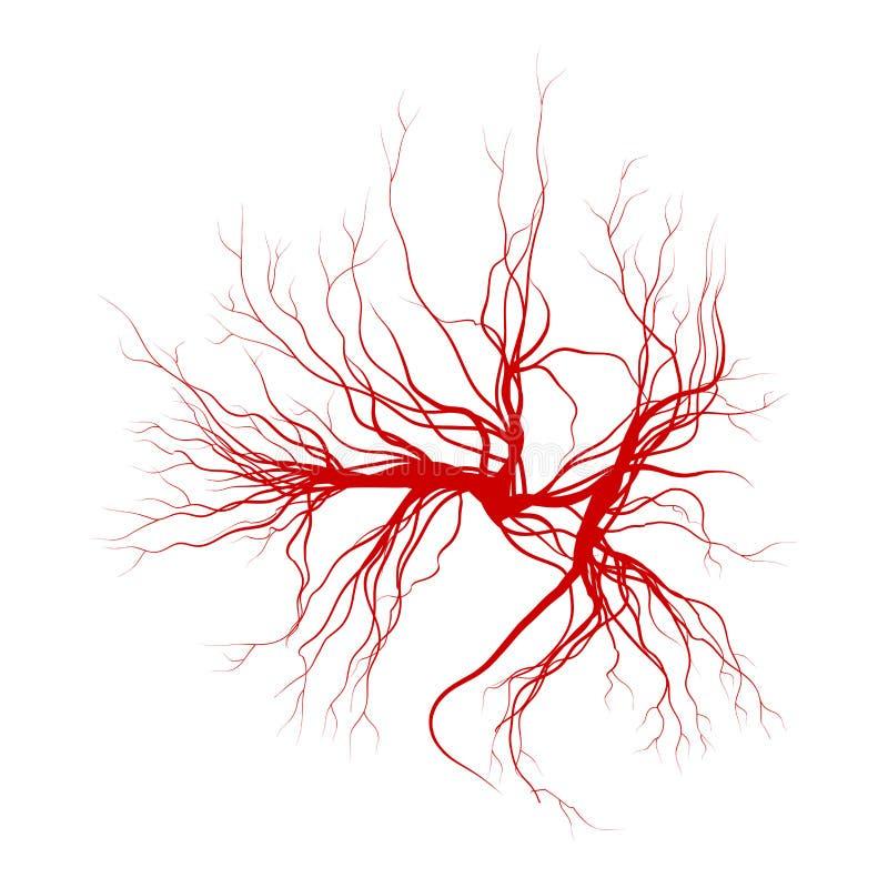 Veias humanas, projeto vermelho dos vasos sanguíneos Ilustração do vetor no fundo branco ilustração royalty free