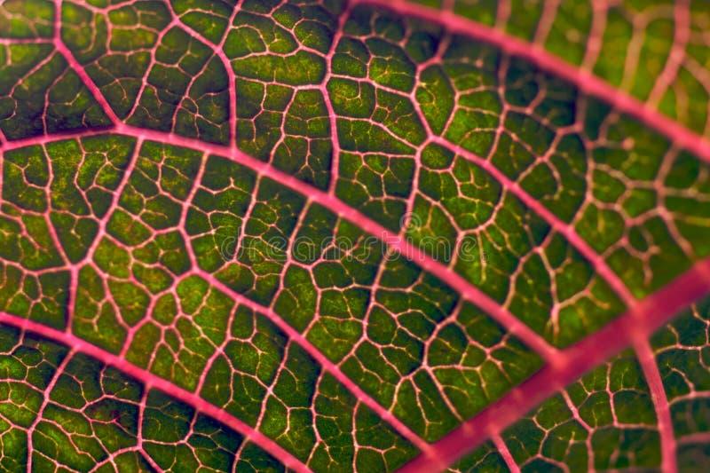 Veias vermelhas de uma folha