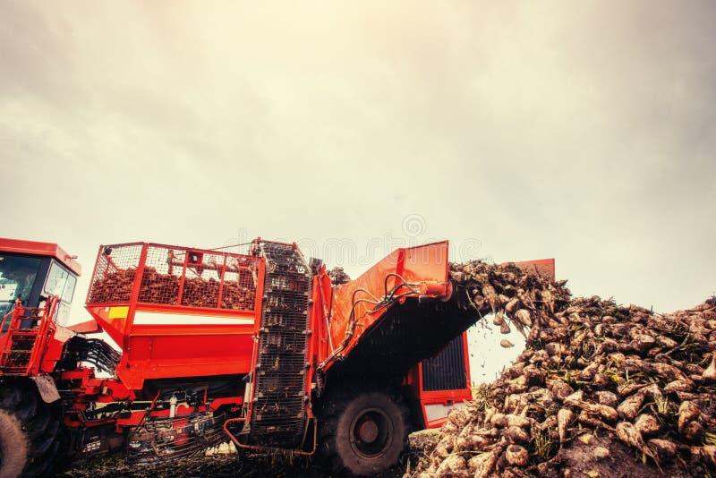 Veicolo agricolo che raccoglie le barbabietole da zucchero l'ucraina europa fotografia stock