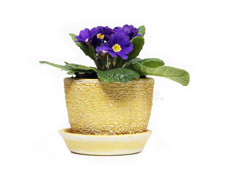 Veilchen im Blumen-Potenziometer lizenzfreie stockbilder