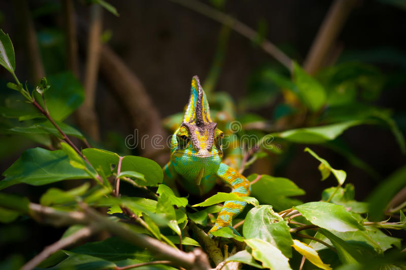 Veiled chameleon. The Veiled chameleon (Chamaeleo calyptratus, also called Yemen chameleon) is a large species of chameleon found in the mountain regions of stock image