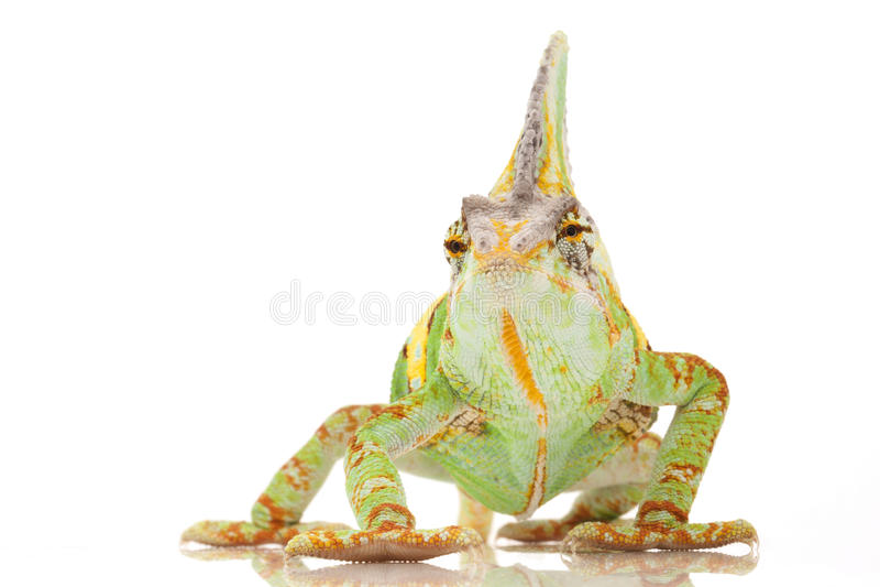 Download Veiled Chameleon stock image. Image of beauty, endangered - 31167187