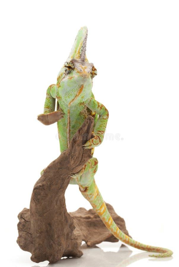 Veiled Chameleon royalty free stock image