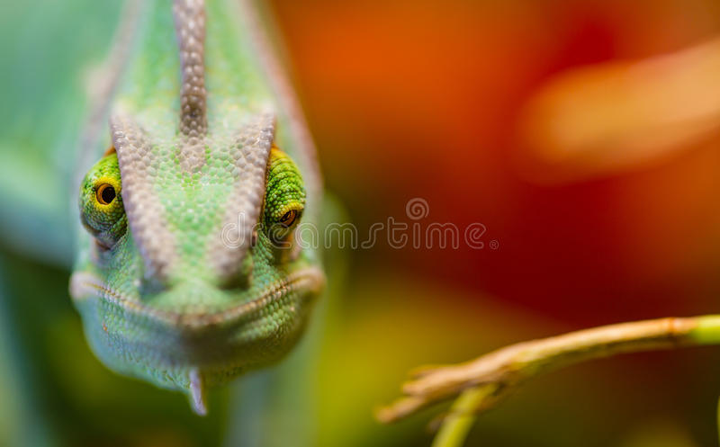 Veiled chameleon Chamaeleo calyptratus resting on a branch in its habitat. Macro photo royalty free stock images