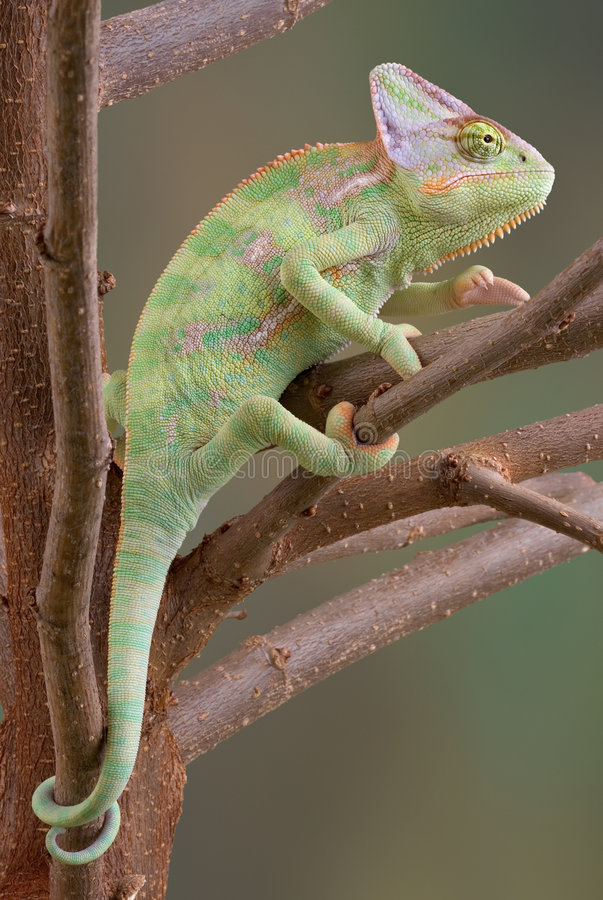 Veiled Chameleon in Tree 2 royalty free stock photo