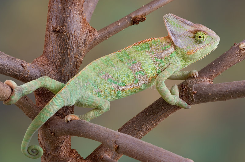 Download Veiled Chameleon In Tree Stock Images - Image: 5043374