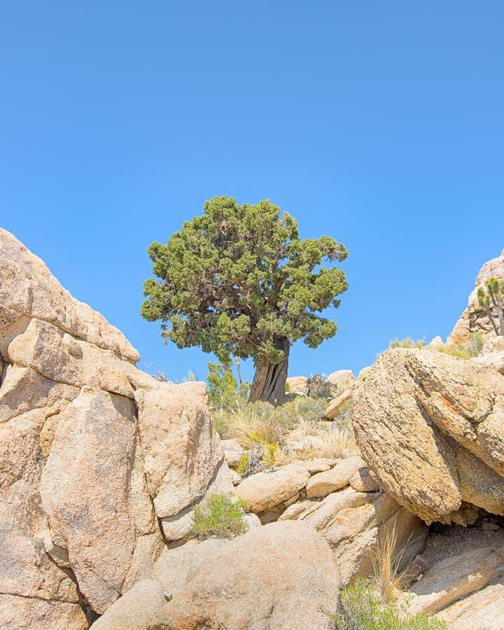 Veillez sur l'arbre, traînée de crête de Teutonia, conserve nationale de Mojave, CA photo libre de droits