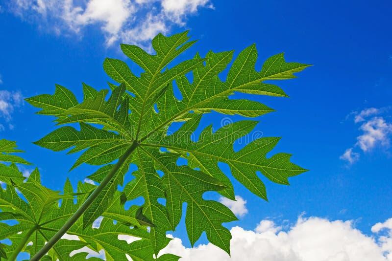 Vein of papaya leafs stock photos
