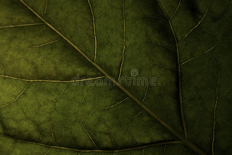 Download Veines image stock. Image du arbre, nature, centrale - 45353573
