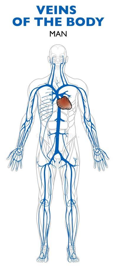 Veines dans le corps, anatomie, corps humain illustration libre de droits