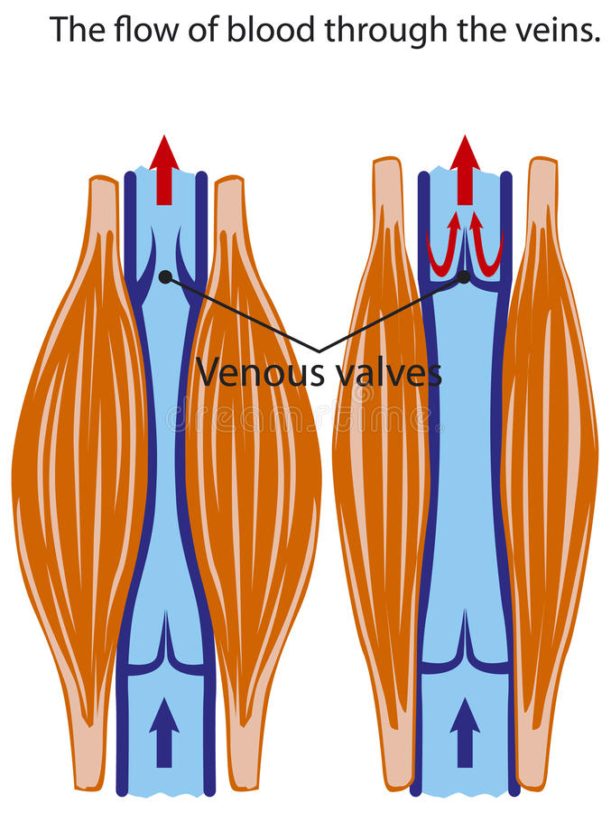 Download Veins stock vector. Illustration of clot, macro, abstract - 22971336