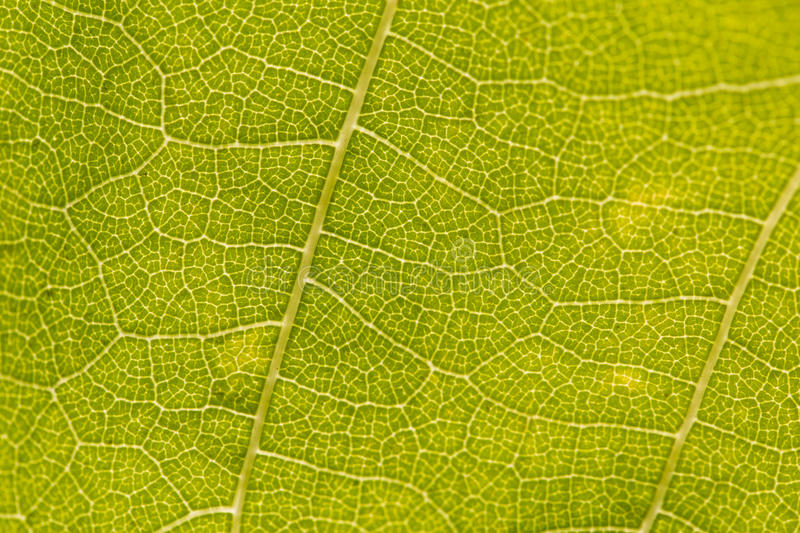 Veins on green leaf. Macro close up of veins and cellulose of green leaf royalty free stock images