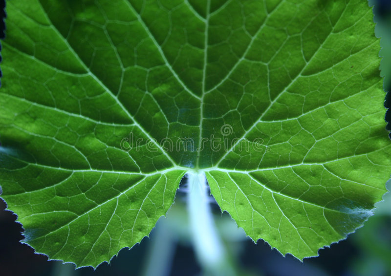 Veins in leaf stock image