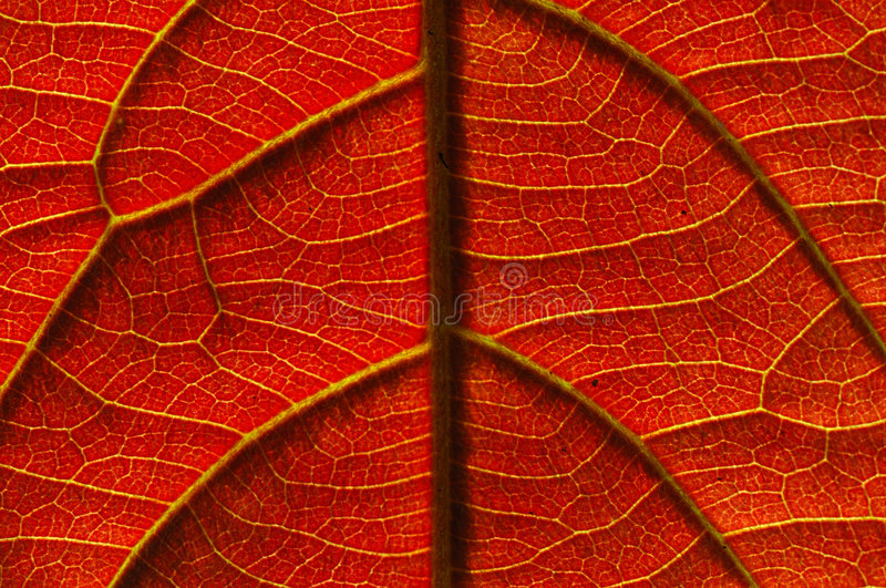 Veins of a leaf royalty free stock photography