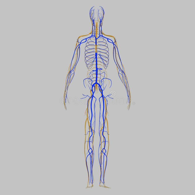 Veins with nerves stock illustration