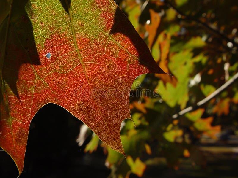 Download Veiny leaf fotografering för bildbyråer. Bild av skarpt - 41257
