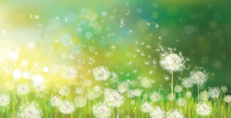 Vektor des Frühlingshintergrundes mit weißem Löwenzahn. lizenzfreie abbildung