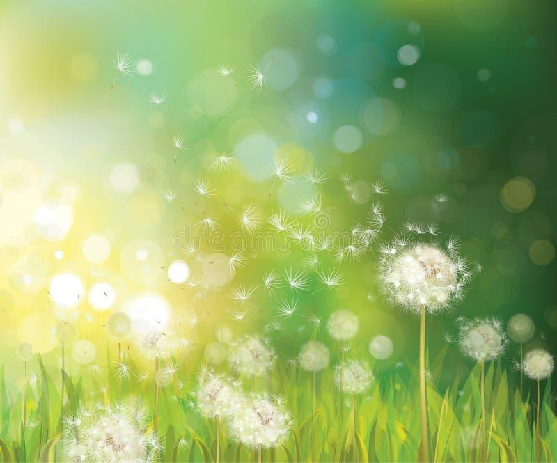 Vektor des Frühlingshintergrundes mit weißem Löwenzahn. stock abbildung