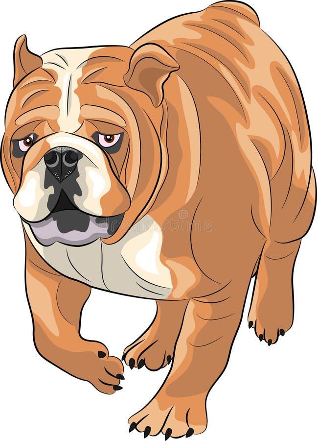 vektor Engelsk bulldogg vektor illustrationer