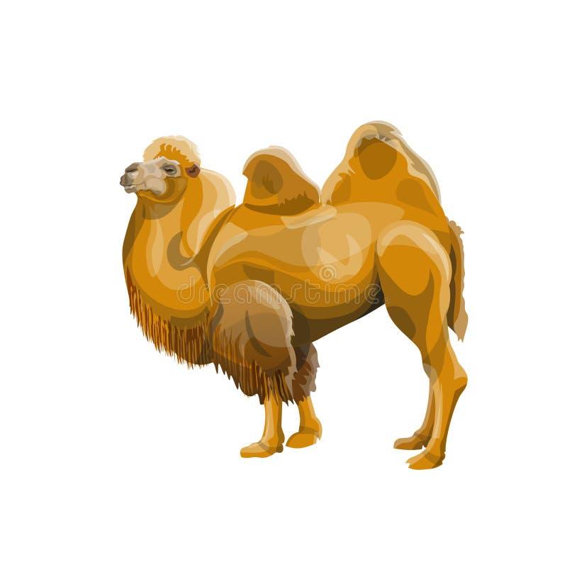 Vektor för Bactrian kamel stock illustrationer