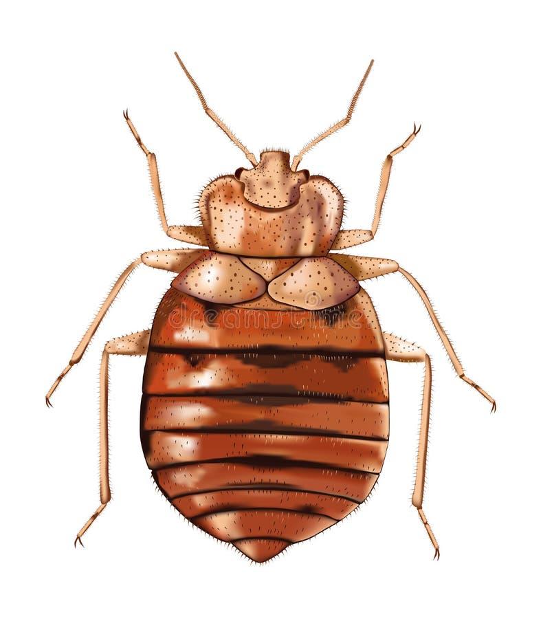vektor för illustrationsbedbugcommon stock illustrationer